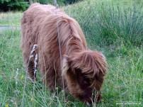 Schotse Hooglanders 04