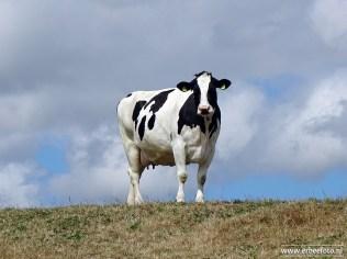 Koe op Dijk Kollumerpomp (02)