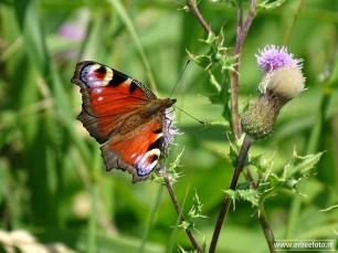 Kollumerwaard Vlinders (01)