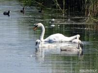 Zwanen Vogelkijkhut de Baak (10)