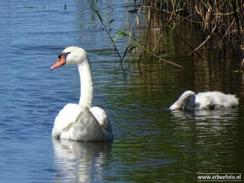Zwanen Vogelkijkhut de Baak (12)