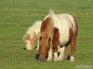 Shetland Pony (01)