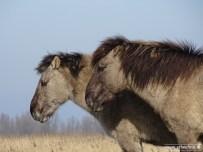 201902_koniks wilde paarden lauwersmeer 03