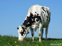 web_koeien schouwerzijl 02