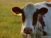 Koeien Avond van Starkenborghkanaal 02