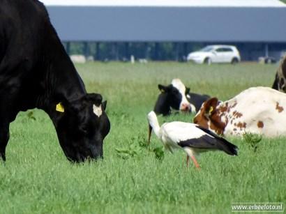 erbeefoto_Ooievaar bij de Koeien in het land (Den Horn) 03