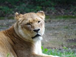 Burgers Zoo - Leeuwen 05