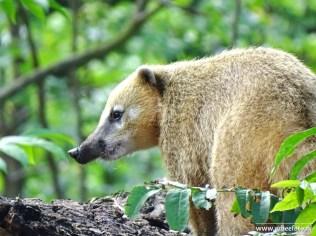 Burgers Zoo - Rode Neusbeer