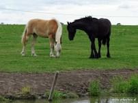 erBeeFoto_Paarden rondom Schouwerzijl 03
