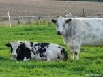 Dikbil koeien 03