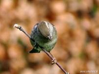 mussen (voortuin) 09