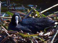 Meerkoet op Nest (bij Den Horn) 02