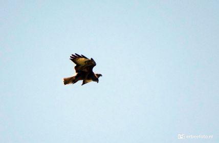 Buizerd aan het jagen jacht, Kollumerwaard, Friesland