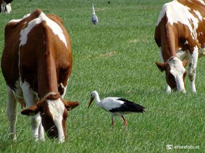 Ooievaar, Reiger en Koeien in het land