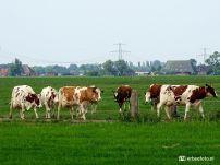 20200603_Koeien op weg naar de Stal (Den Horn) 01