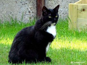 Saar, zwart-witte kat