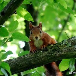 Eekhoorn in boom Wildemann De Harz Duitsland