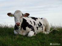 Koeien op de dijk bij Houwerzijl