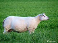 Fris geschoren schapen (Noordhorn)