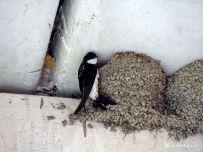 Jonge Huiszwaluw op nest wordt gevoerd
