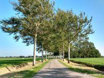 Bij Warfhuizen in de buurt - berkenbomen langs de weg