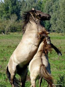 Vechtende Konikpaarden Kollumerwaard
