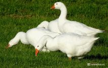 Witte Ganzen (Niezijlsterdiep)