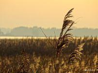 Riet in de avondon Vogelkijkhut Jaap Deensgat Lauwersmeer