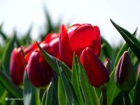 Bollenveld Bloeiende Tulpen (Godlinze)