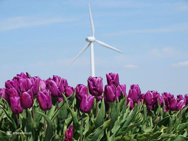 Bollenveld Bloeiende Tulpen langs de Dijkumerweg