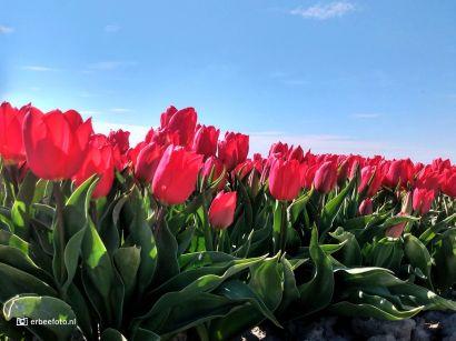 Tulpenvelden Uithuizermeeden Groningen