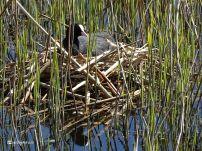 Meerkoet op het nest (bij Zoutkamp)