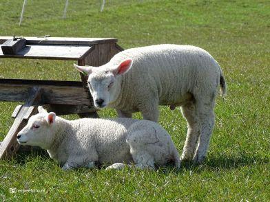 Lammetjes (Hekkum)