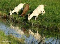 Geiten - reflectie in water (Leegkerk) 01