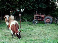 Koeien bij Zuidhorn