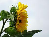 Zonneblooemen langs de Weilanden
