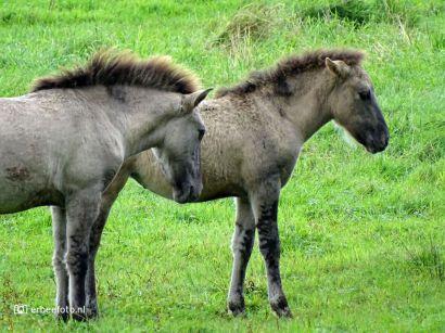 Konikpaarden Ennemaborg Midwolda