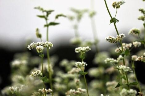 Fleurs de sarrasin