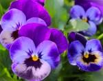 Extrait oeillet, bleuet, chevrefeuille, iris