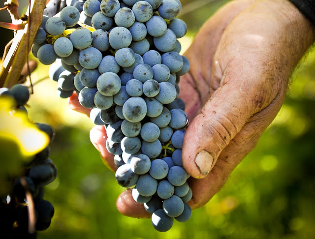 Grappe de raisin, viticulteur