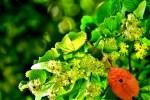 Extraits de raifort, tilleul-oranger, mure, nerprun