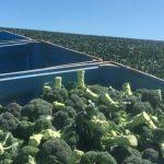 稼げる!! タスマニアでブロッコリーカッティング Broccoli Cutting in Tasmania