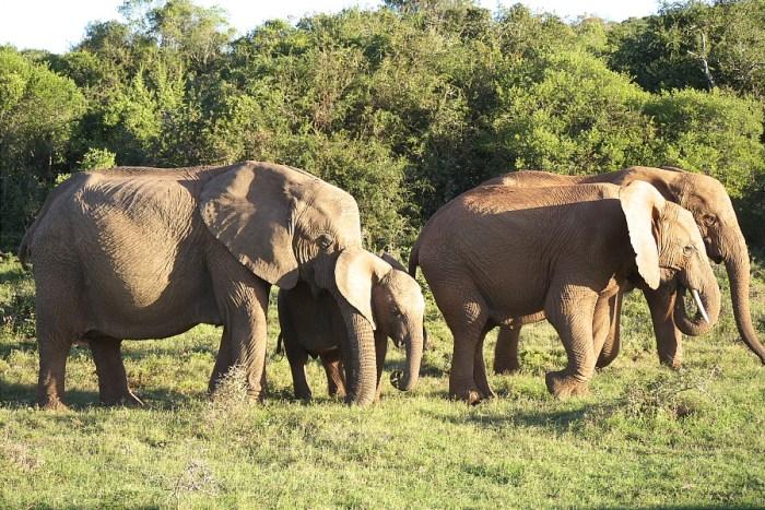 Elephants in Addo