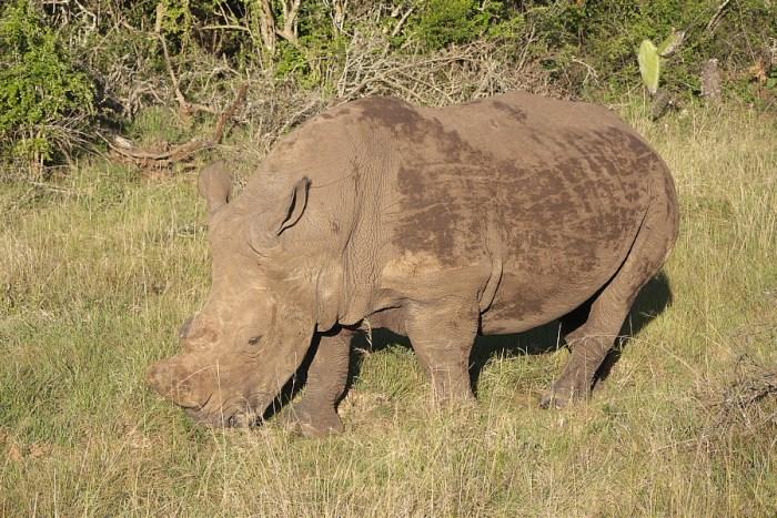 rhino in Schotia