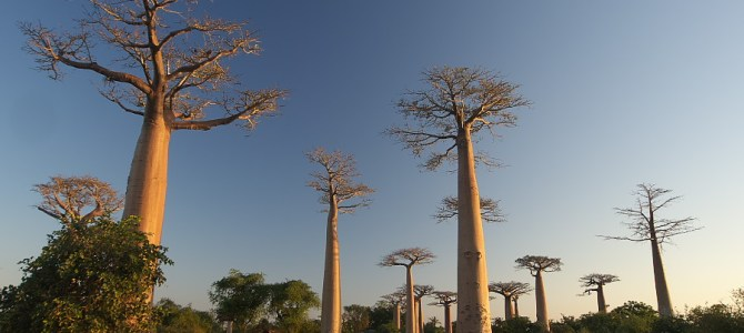 The Baobab: a Madagascar tree!