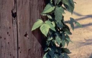 poison-ivy-plant