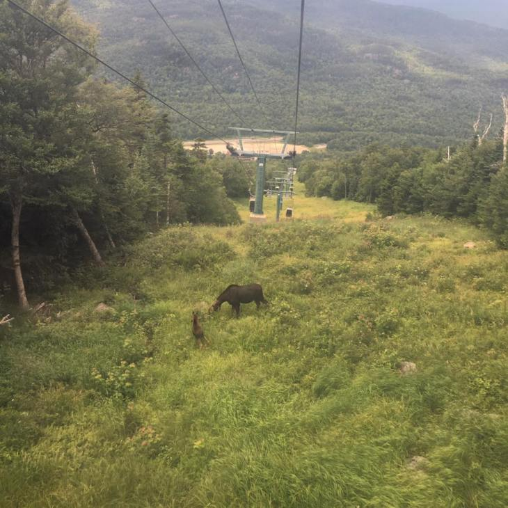moose on wildcat mountain