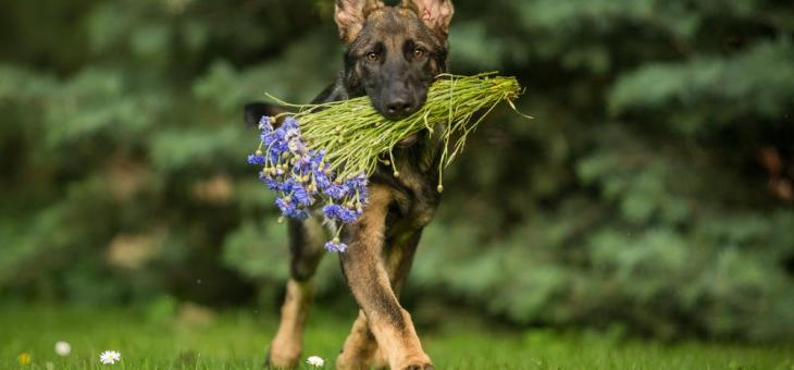 Keeping Your German Shepherd Entertained