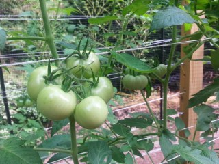growing mater sandwich tomatoes with trellis in a raised bed garden