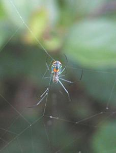 irridescent garden spiders